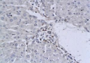 IHC-P of rat liver tissue using IL19 antibody.