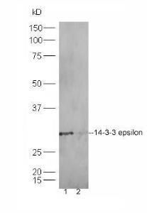 Western blot analysis of Hela lysates (Lane1), HT1080 lysates (Lane2) using 14-3-3 epsilon antibody