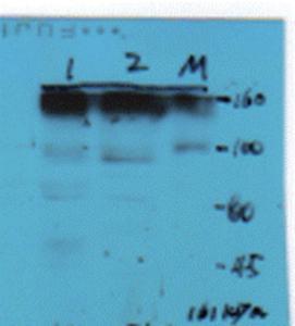 Anti-COL1 Rabbit Polyclonal Antibody