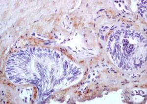Immunohistochemical analysis of formalin-fixed paraffin embedded muscle of mouse embryo tissue using MYL9 antibody (dilution at 1:200)