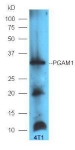 Western blot analysis of 4T1 lysates using PGAM1 antibody (dilution at 1:300)