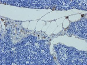 IHC-P image of rat thymus tissue using anti-Prostaglandin E synthase 2 (2.5 ug/ml)