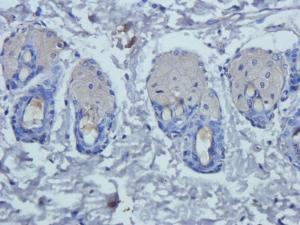 IHC-P image of rat skin tissue using Prostaglandin E synthase 2 antibody (2.5 ug/ml)