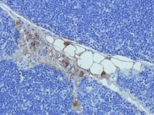IHC-P staining of rat thymus tissue using anti-Prostaglandin E synthase 2 (2.5 ug/ml)