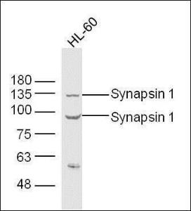 Western blot analysis of extracts from Hl-60 cell using Synapsin antibody.
