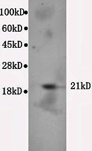 Western blot analysis of mouse cerebrum lysate using Bax antibody