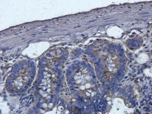 Immunohistochemical staining of paraffin embedded rat colon tissue using anti-Cathepsin G (2.5 ug/ml)