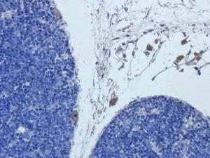 Immunohistochemical staining of rat thymus tissue using Cathepsin G antibody (2.5 ug/ml)