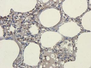 Immunohistochemical staining of pig lung tissue using CD45 antibody (2.5 ug/ml)