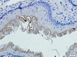 IHC-P image of mouse lung tissue using CD45 antibody (dilution of primary antibody at 1:100)