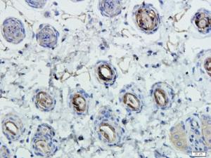IHC-P staining of mouse skin tissue using anti-CD45 (dilution at 1:100)