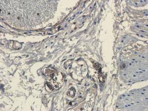 IHC-P staining of pig uterus tissue using CD45 antibody (2.5 ug/ml)
