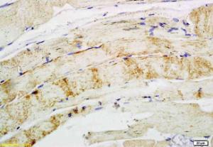 Immunohistochemical analysis of paraffin-embedded rabbit muscle using CD62L antibody .