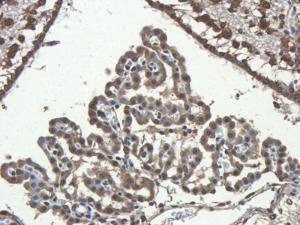Immunohistochemical staining of paraffin embedded rat brain tissue using anti-CD68 (primary antibody at 2.5 ug/ml)
