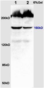 Western blot analysis of rat colon lysates using CDK7 antibody