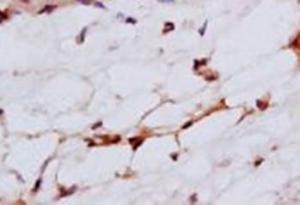 Immunohistochemical analysis of formalin-fixed paraffin embedded rat skin tissue using Cytokeratin 4 antibody (dilution at 1:200)