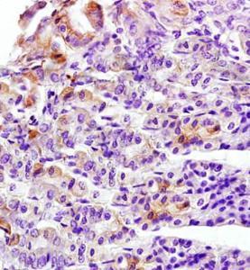 IHC-P of mouse stomach tissue (Cytokeratin 8 antibody at 1:300)
