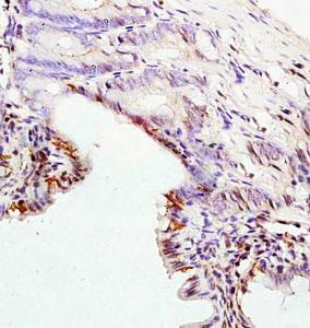 Immunohistochemical analysis of formalin fixed and paraffin embedded rat colon tissue using Cytokeratin 8 antibody