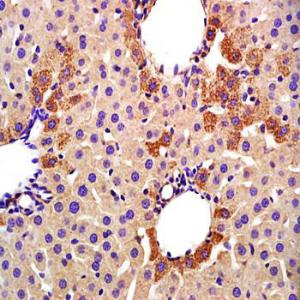 Immunohistochemical analysis of formalin-fixed and paraffin embedded rat liver tissue (dilution at:1:200) using CYP2E1 antibody