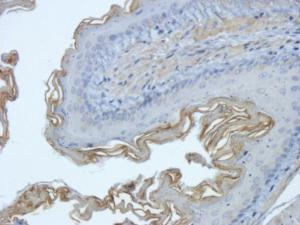 IHC-P image of mouse lung tissue using anti-EpCAM (2.5 ug/ml)