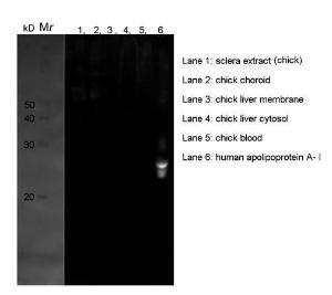 Western blot analysis of chick sclera extract (Lane 1), chick choroid (Lane 2), chick liver membrane (Lane 3), chick liver cytosol (Lane 4), chick blood (Lane 5), human apolipoprotein A I (Lane 6) using Apolipoprotein A I antibody [Reviews]