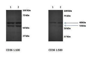 Western blot analysis of embryo liver hepatocytes (Lane1 and 2, dilution at:1:500 using SR-B1 antibody