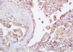 Anti-CD44 Rabbit Polyclonal Antibody