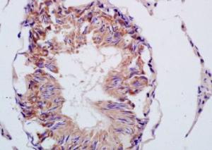 Anti-CMTM2 Rabbit Polyclonal Antibody